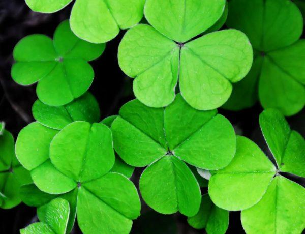 Irische Kleeblätter, Shamrock