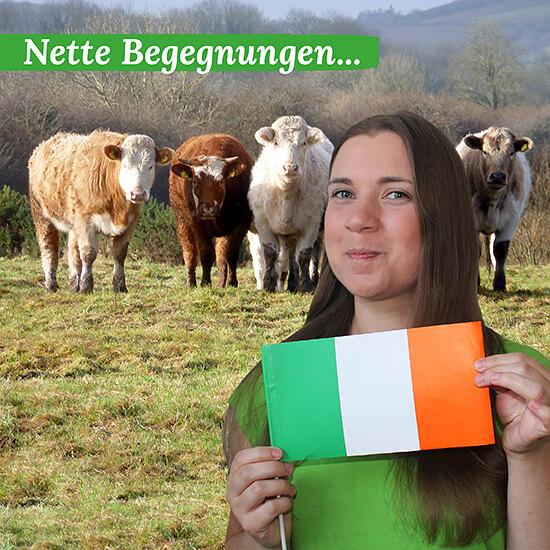 Kuehe posieren für Gruppenfoto, Burren